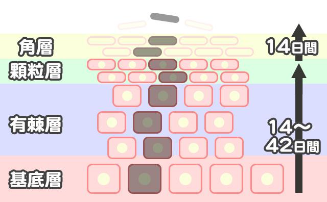 デリケートゾーンのターンオーバーの仕組み